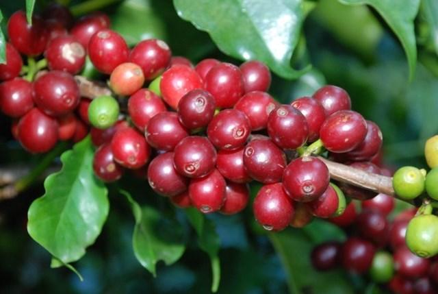 Thị trường cà phê tháng 7/2019: Mưa lớn kéo dài ở Tây Nguyên ảnh hưởng tới sản lượng