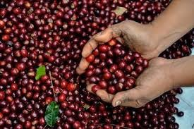Báo cáo của USDA về thị trường cà phê Honduras