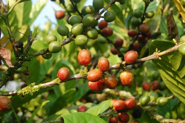 Nguồn cung cà phê thế giới có thể thiếu hụt trong vòng 3 - 5 năm tới