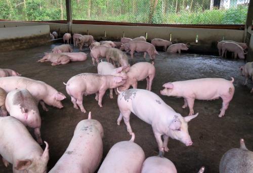 """Bình Dương lên kế hoạch """"giải cứu"""" thịt lợn"""