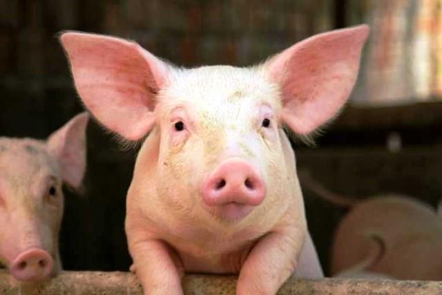 Trung Quốc nhập khẩu kỷ lục thịt lợn dù sản lượng tới hàng nghìn con