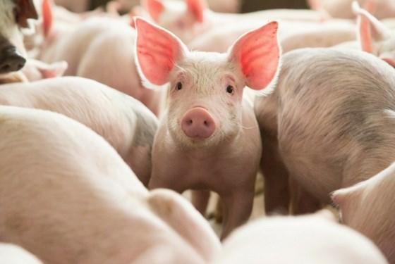 Trung Quốc giảm mạnh nhập khẩu thịt lợn