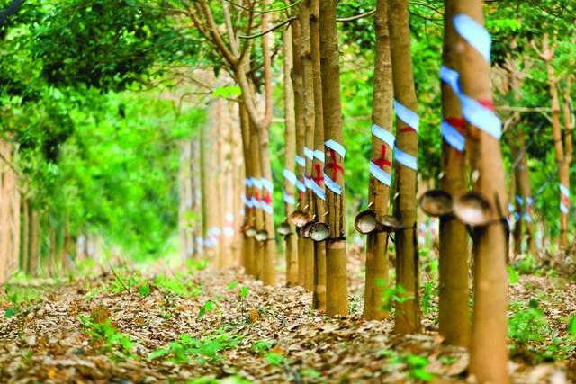 Thị trường cao su ảm đạm, nông dân Thái Lan tạo áp lực lên Chính phủ