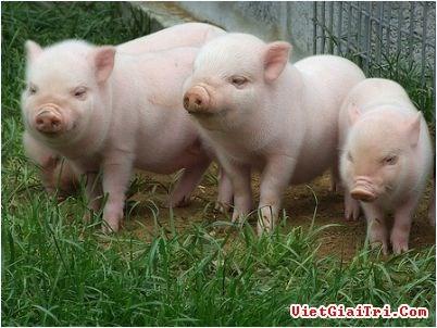 Tình hình sản xuất và thương mại thịt lợn thế giới