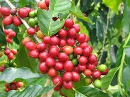 Xuất khẩu cà phê của Việt Nam trong tháng 3 tăng lên mức 160.000 tấn