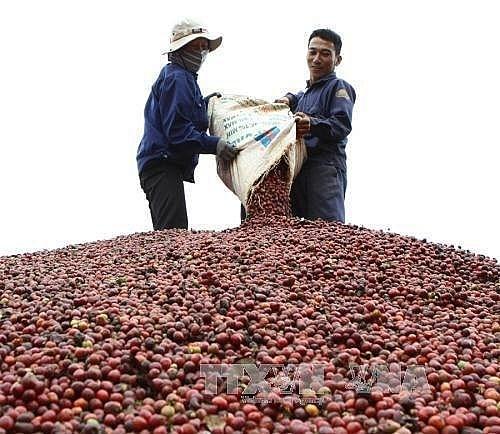Đắk Lắk tăng sản lượng cà phê chế biến sâu