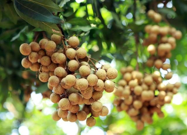 TT nông sản ngày 04/6: Nhãn Sơn La đảm bảo tiêu chuẩn xuất khẩu ra thế giới