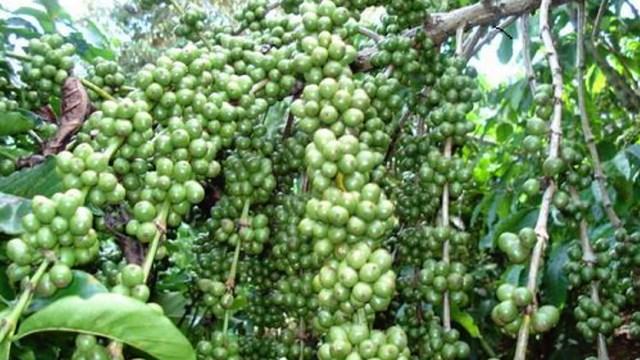 Việt Nam trở thành nước cung ứng cà phê hàng đầu vào Nhật Bản nhờ COVID-19