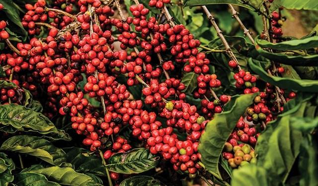 Brazil tìm cách giành thị phần cà phê đặc sản khi sản lượng tăng