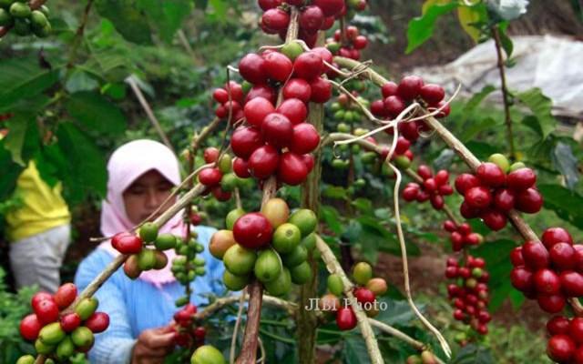 Các nhà sản xuất cà phê ở Indonesia kêu gọi hỗ trợ dưới tác động của COVID-19