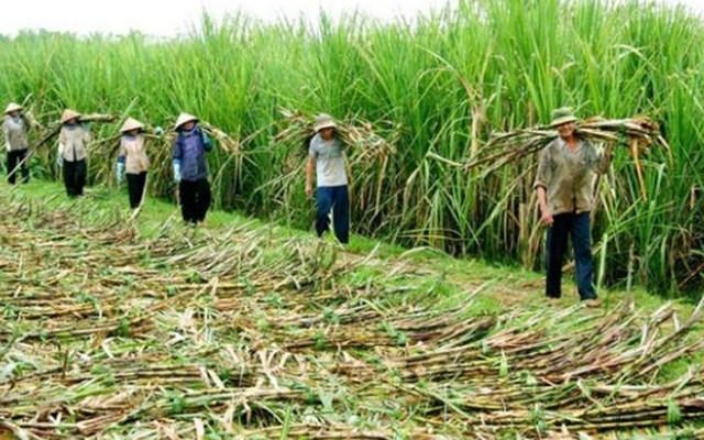 Ngành mía đường Việt Nam bắt đầu vào vụ ép 2020/2021
