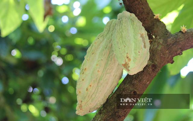 Đồng Nai: Ký hợp đồng bao tiêu, trái ca cao không sợ lao đao vì Covid-19