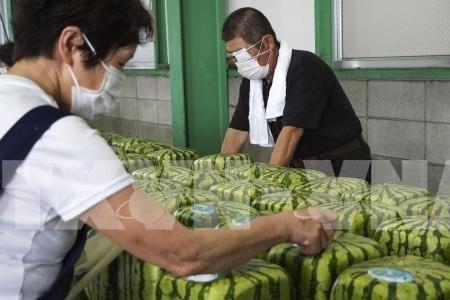 Nhật Bản vào mùa thu hoạch dưa hấu vuông