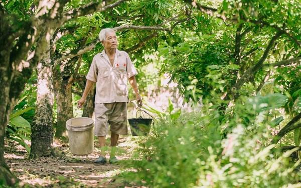 Nhãn Hưng Yên và một mùa thu hoạch thật khác