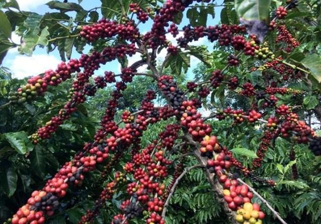 Xuất khẩu cà phê của Brazil giảm gần 13%