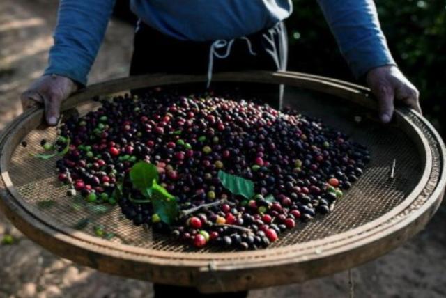 Brazil: Thu hoạch cà phê niên vụ 2021/22 đã gần kết thúc