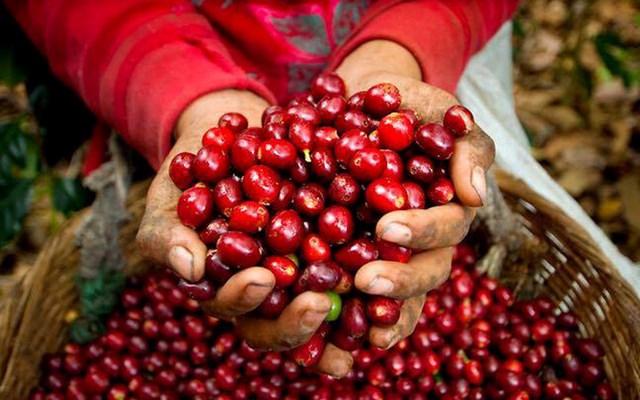 Xuất khẩu cà phê chịu áp lực bởi phí logistics tăng cao và làn sóng COVID-19 thứ 4