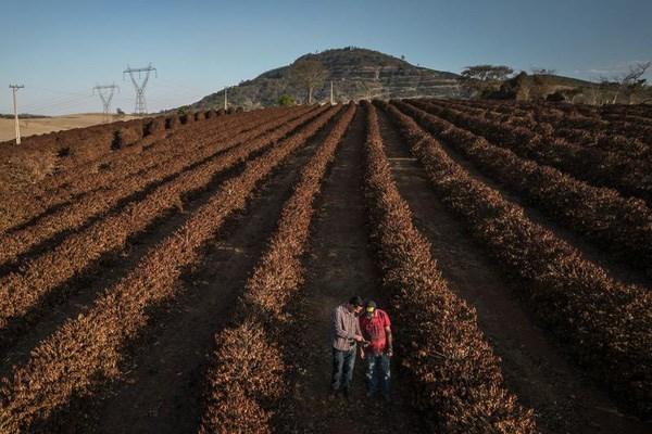 Nông dân trồng cà phê ở Brazil mất trắng vì biến đổi khí hậu