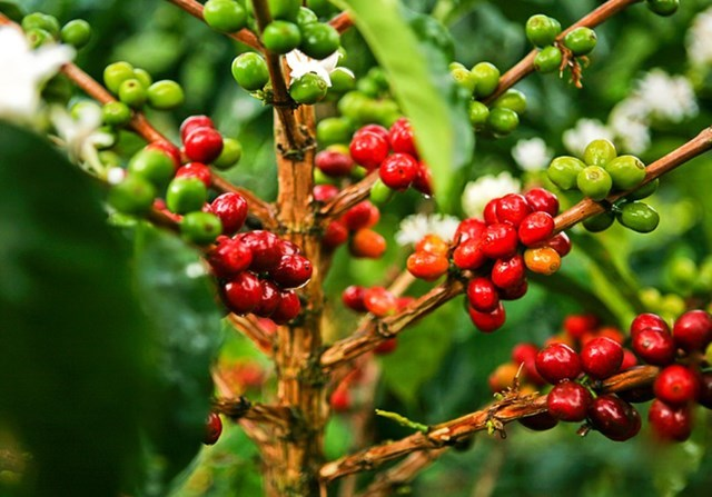TT cà phê ngày 27/3: Tiếp nối đà hồi phục, chạm mốc 33.000 đồng/kg