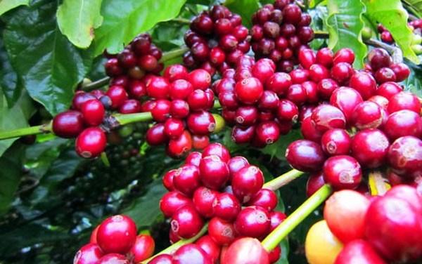 Giá cà phê ngày 29/8 giảm trở lại 100 đồng/kg