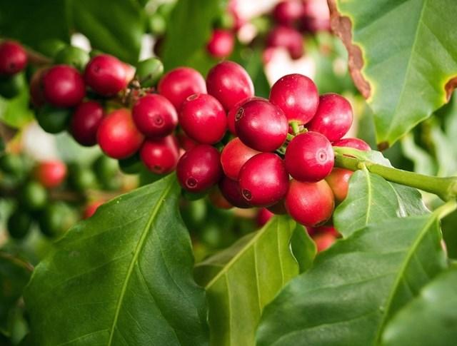 Giá cà phê trong nước ngày 23/1: Đồng loạt tăng 200 đồng/kg