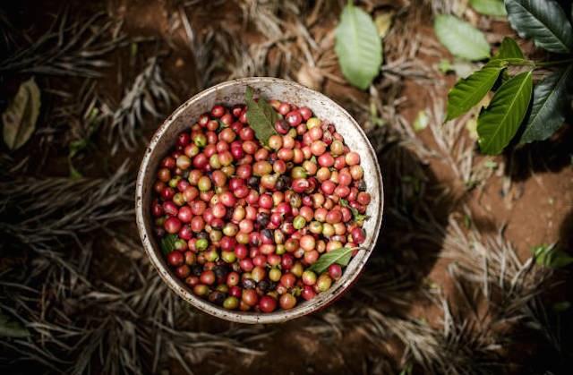 TT cà phê ngày 08/5: Giảm nhẹ 100 đồng/kg