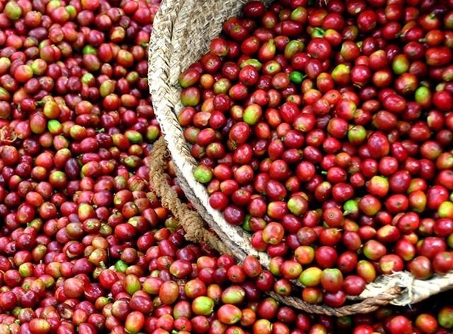 TT cà phê ngày 05/01: Đảo chiều sụt giảm 200 đồng/kg