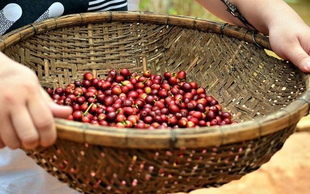 Giá cà phê ngày 10/9 chưa chạm được mốc 33.000 đồng/kg