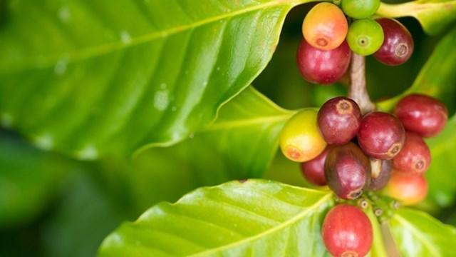 TT cà phê tuần đến ngày 26/01: Sụt giảm nhẹ sau khi bật tăng gần 40.000 đồng/kg