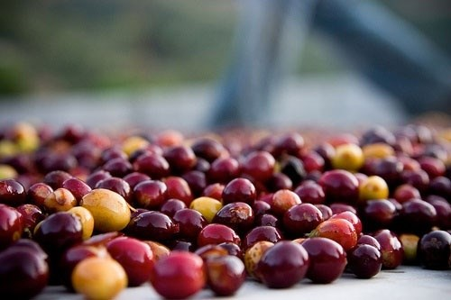 Giá cà phê ngày 19/9 hồi phục nhẹ 100 đồng/kg