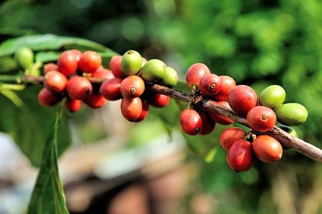 Vị thế của cà phê Việt trên thị trường thế giới và dự báo giá tuần cuối tháng 10/2019