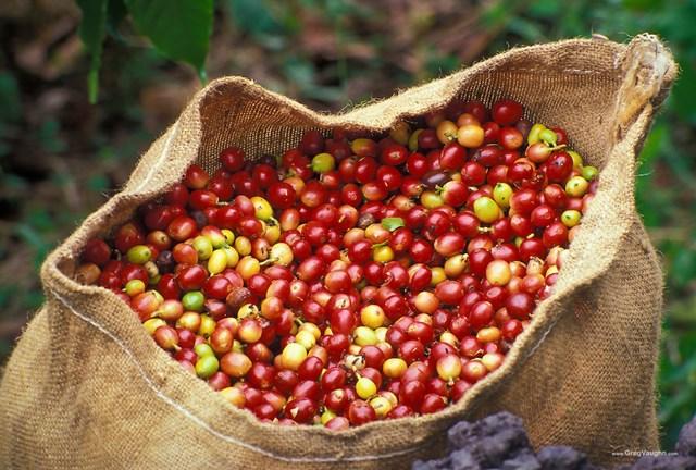 TT cà phê ngày 22/10: Giá lui về mức 30.800 đồng/kg tại Lâm Đồng