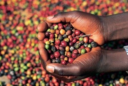 Giá cà phê ngày 05/10 hồi phục trở lại với mức tăng 400 đồng/kg