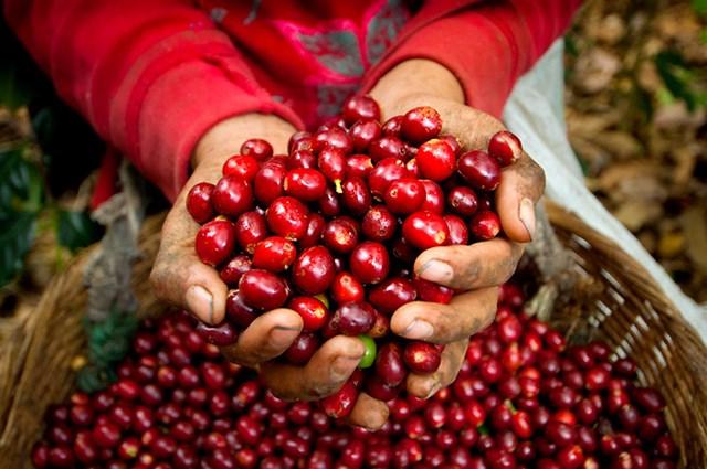 Giá cà phê ngày 09/10 tăng chạm mốc 36.000 đồng/kg