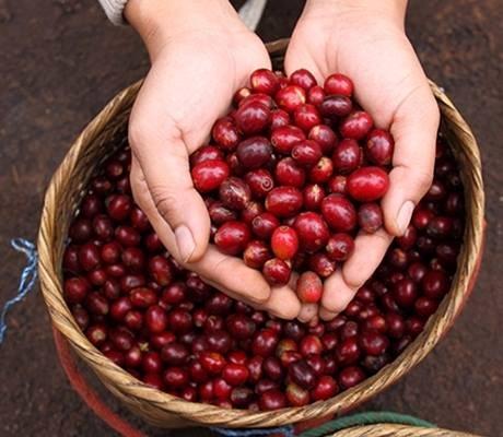 TT cà phê ngày 22/02: Quay đầu giảm, mất mốc 33.000 đồng/kg