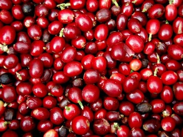 TT cà phê ngày 11/10: Giá hạ nhiệt 100 đồng/kg