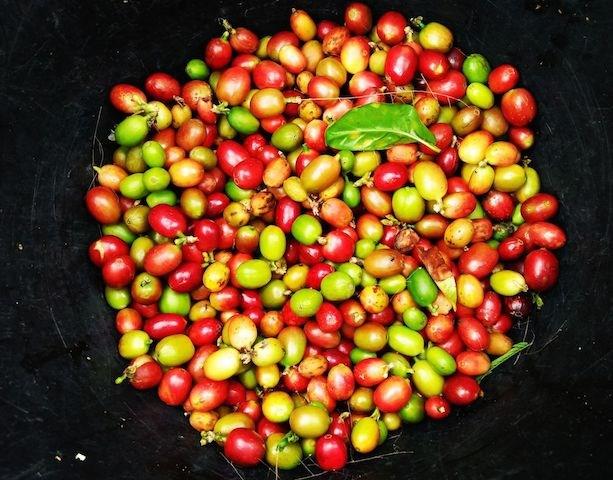 TT cà phê ngày 15/8: Tiếp nối đà tăng, giá nhích thêm 100 đồng/kg