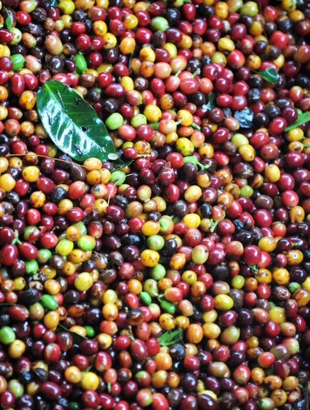 TT cà phê ngày 19/02: Giá đứng yên ở mức 32.700 – 33.400 đồng/kg