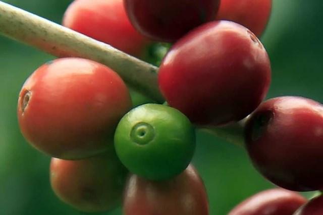TT cà phê ngày 26/02: Tăng 200 đồng/kg lên mức 32.800 – 33.600 đồng/kg