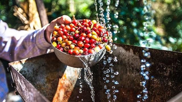 TT cà phê tuần đến ngày 02/02: Tăng 200 đồng, dao động quanh 33.200 – 33.900 đồng/kg