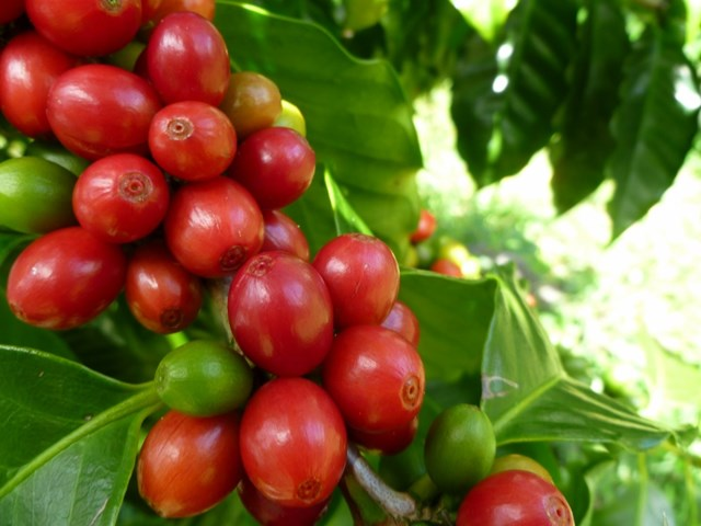 TT cà phê tuần 18: Lao dốc nhiều phiên liên tiếp xuống dưới mức 31.000 đồng/kg