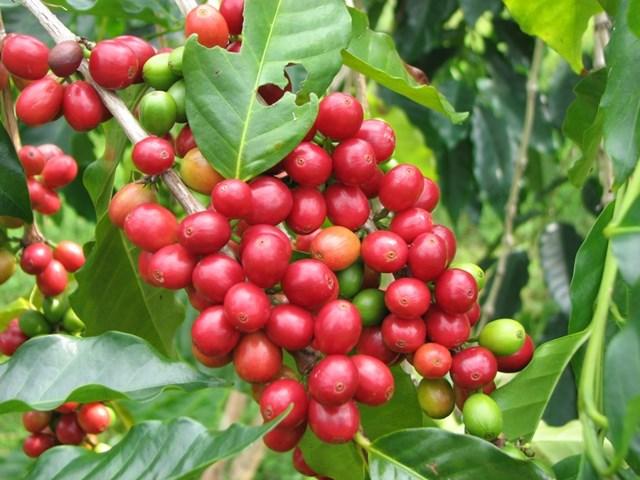 TT cà phê ngày 29/8: Tăng phiên thứ hai liên tiếp lên mức 32.700 – 33.800 đồng/kg