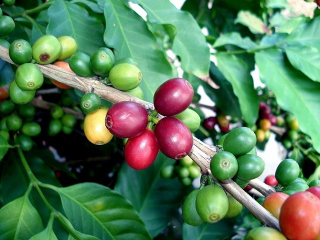 TT cà phê ngày 17/9: Tăng nhẹ 100 đồng/kg