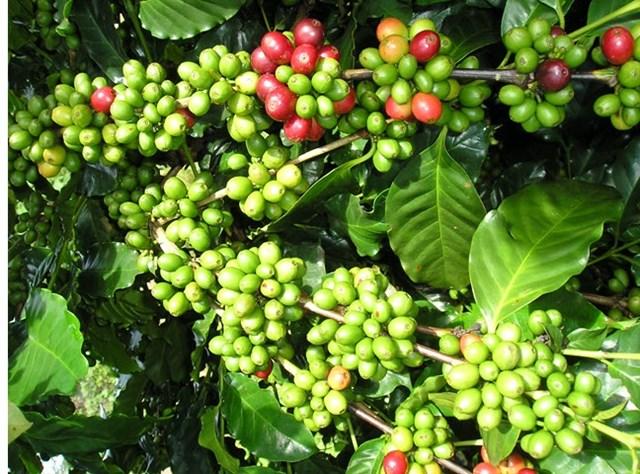 TT cà phê ngày 11/7: Giá chốt ở 33.100 – 34.100 đồng/kg