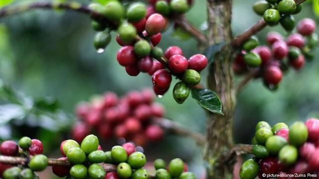 TT cà phê ngày 11/11: Giá đi ngang sau khi tăng 100 đồng/kg trong phiên cuối tuần