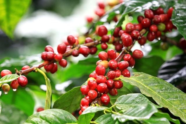 TT cà phê ngày 25/6: Hồi phục nhẹ sau phiên giảm giá cuối tuần