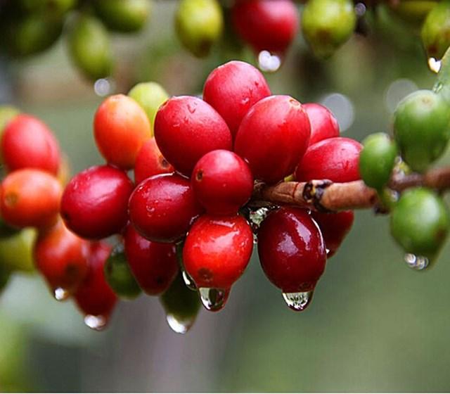 TT cà phê ngày 16/8: Tiếp nối đà leo dốc, giá cao nhất lên mức 33.500 đồng/kg