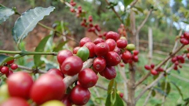 TT cà phê tuần 19: Giá giảm xuống mức thấp nhất trong 6 năm