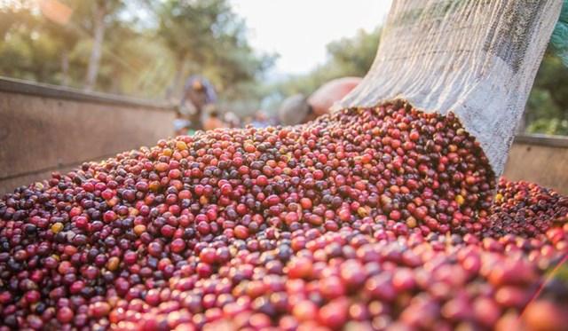 TT cà phê ngày 02/8: Giá tiếp tục lao dốc xuống 31.900 – 32.800 đồng/kg