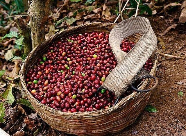 TT cà phê ngày 05/8: Không đổi so với mức giá cuối tuần, chốt dưới mốc 33.000 đồng/kg